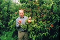 W produkcyjnym sadzie brzoskwiniowym, sierpień 2001 r.
